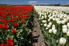Tulpenkultur Stockbild