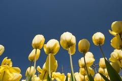 Tulpenkultur Stockbilder