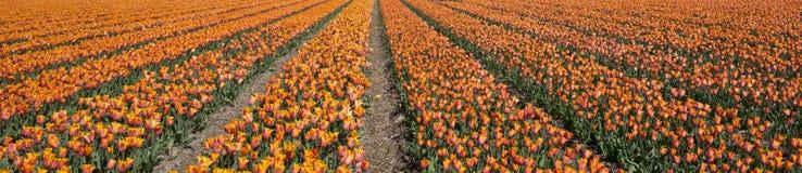Tulpenkultur Lizenzfreie Stockbilder