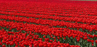 Tulpenkultur Lizenzfreie Stockfotografie
