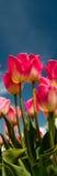 Tulpenkultur Lizenzfreie Stockfotos