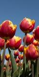 Tulpenkultur Stockfotos