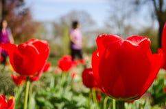Tulpenleutehintergrund Lizenzfreie Stockfotos
