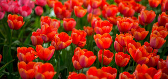 Tulpenmeer Lizenzfreie Stockfotos