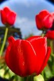 Tulpennahaufnahme Stockfoto