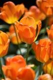Tulpenorange geschienen durch die Sonne lizenzfreies stockbild