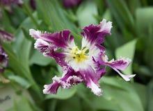 Tulpenpurple met wit stock afbeelding