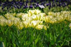 Tulpentuin in Showa Kinen KoenShowa Memorial Park, Tachikawa, Tokyo, Japan in de lente Royalty-vrije Stock Afbeeldingen
