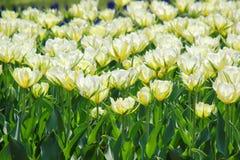 Tulpentuin in Showa Kinen KoenShowa Memorial Park, Tachikawa, Tokyo, Japan in de lente Royalty-vrije Stock Foto