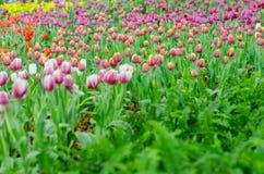 Tulpenvielzahl in der Show stockfotografie