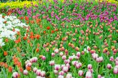Tulpenvielzahlvielzahl in der Show stockbilder