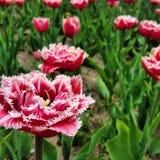 Tulpenzeit in Holland Stockfoto