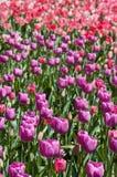 Tulpeverrücktheit lizenzfreie stockbilder