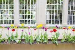 Tulpis colorés dans une rangée devant des vitraux Photographie stock