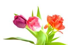 Tulpis holandeses típicos Imagen de archivo