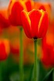 Kanta av de gula/röda tulporna Royaltyfri Bild