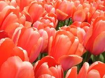 Tulps de Keukenhof Photographie stock