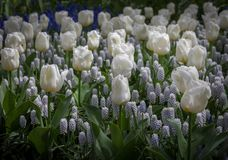 Tulps and Grape hyacinth. This is and mix field of white tulps and grape hyacinth Royalty Free Stock Photography
