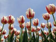 Tulps rojos y blancos Fotografía de archivo libre de regalías