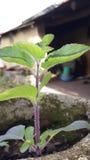 Tulsee legendarisk växt Arkivfoto