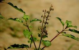 Tulshi or ocimum sanctul shrub Royalty Free Stock Photo