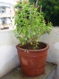 Tulsi植物在家 免版税库存照片