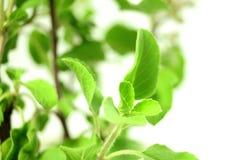 医药白色背景的tulsi或圣洁蓬蒿印地安草本植物 免版税库存图片