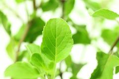 医药白色背景的tulsi或圣洁蓬蒿印地安草本植物 库存照片