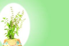 医药tulsi或圣洁蓬蒿印地安草本植物 库存图片