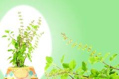医药tulsi或圣洁蓬蒿印地安草本植物 免版税库存照片