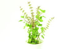 医药tulsi或圣洁蓬蒿印地安草本植物 免版税库存图片