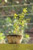 Tulsi ayurveda医学种植印地安罐自然花 免版税库存图片