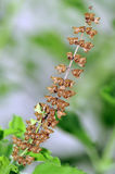 Tulsi(basil) seeds Stock Photography