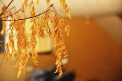 Tulsi Blätter Lizenzfreies Stockbild