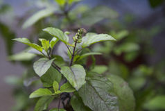 Tulsi Stock Photography