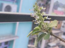 Tulsi Flower. Love this click Royalty Free Stock Image