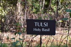 Tulsi (Holy Basil) the queen of herb Stock Photo