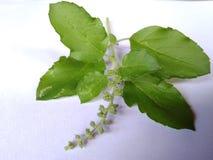 Tulsi leafs Royalty Free Stock Photo
