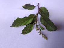 Tulsi leafs Royalty Free Stock Photos