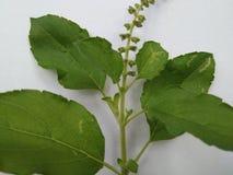 Tulsi leafs Stock Photos