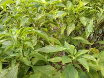 Tulsi plant. Tulsi /holybasil .it is the similar species of holybasil or tulsi. It is also called ramatulsi in Indian regional language. It is used in Ayurveda Royalty Free Stock Image