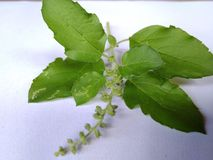 Tulsi leafs Royalty Free Stock Images
