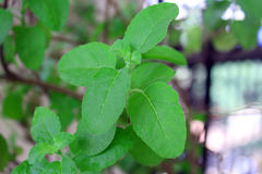 Tulsi Stock Images