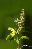 Tulsi plant. Tulsi , a medicinal plant, glowing in sunlight Royalty Free Stock Photo
