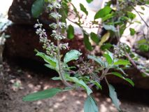 Tulsi plant Stock Images