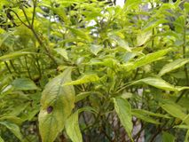 Tulsi plant. Tulsi /holybasil .it is the similar species of holybasil or tulsi. It is also called ramatulsi in Indian regional language. It is used in Ayurveda Stock Photo