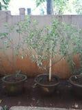 Tulsi plant stock photo
