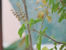 Tulsi plant. Nature ayurved medicinal plant magzine cover educational work or medical project Indian culture stock images