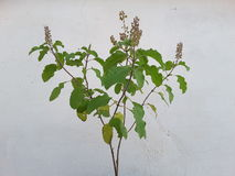 Tulsi plant Royalty Free Stock Image