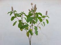 Tulsi plant. Religious tulsi plant Royalty Free Stock Image